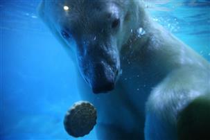 蓬莱海洋极地世界北极熊夫妻团圆吃月饼