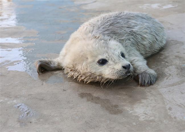 新年新禧  蓬莱两头斑海豹顺利降生