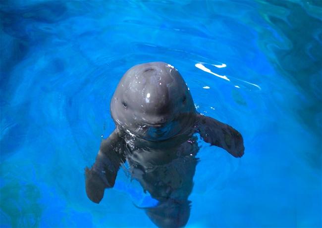 """泉城海洋极地世界:""""奶爸""""们为小江豚一周岁生日快乐"""